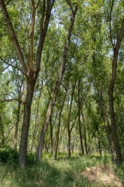 Nehir kenarı ormanı Koca Orman