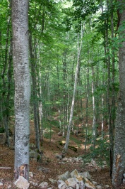 Forest of Beech in Tsichla - Chaidou in Xanthi