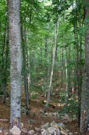 Wald von Buche-Chaidou Thrush in Xanthi